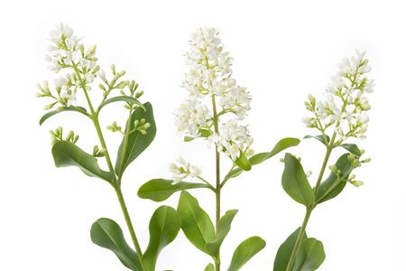 shrub: Blooming Ligustrum shrub on white background