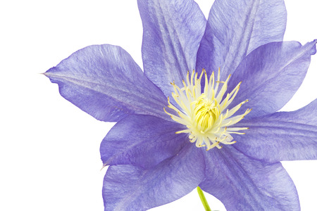 clematis flower: Blue Clematis flower, isolated on white