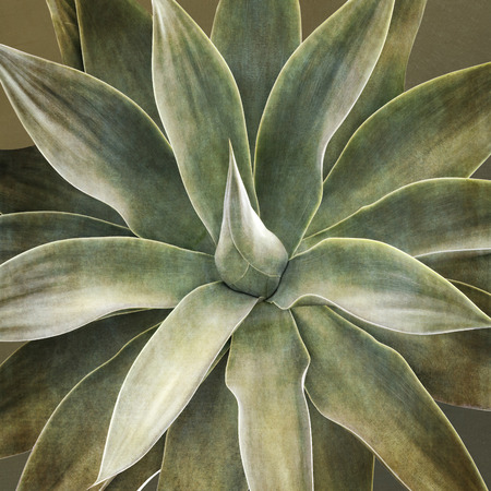 agave: Planta de Agave attenuata, primer