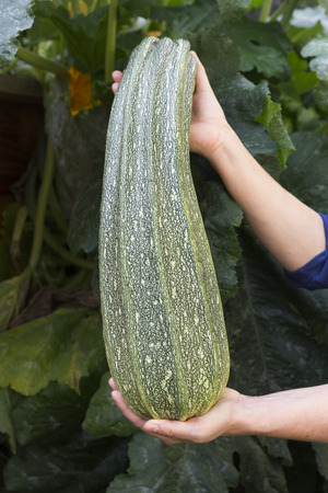courgette: Female hands holding large courgette