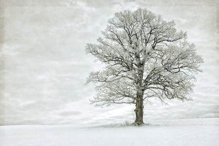 Single tree in winter covered with hoarfrost Stock Photo