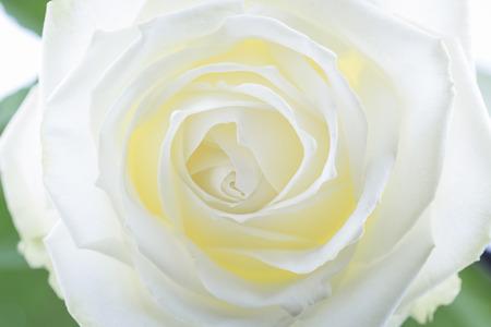 creamy: Creamy white rose, closeup