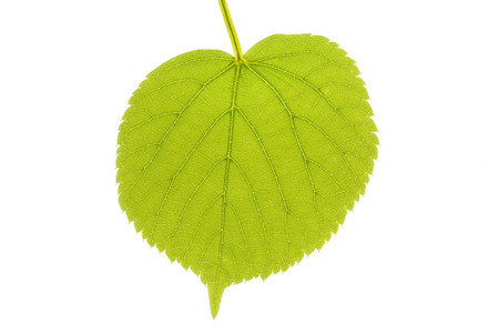 limetree: Lime tree leaf in spring, isolated on white