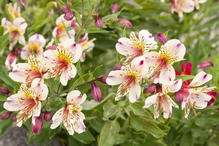alstromeria: Alstromeria flowers in the garden