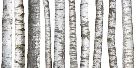 Birch tree trunks isolated on white background 스톡 콘텐츠