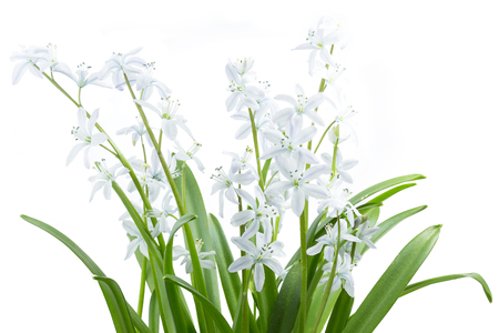 White Scilla flowers on white background