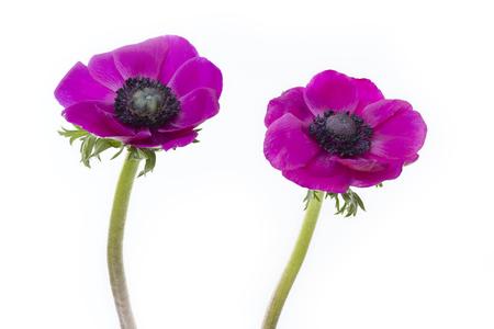 Poppy anemones (Anemone Coronaria) on white background Stock Photo