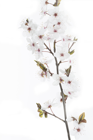 prunus cerasifera: Cherry Plum twig on white background (Prunus cerasifera Nigra) Stock Photo