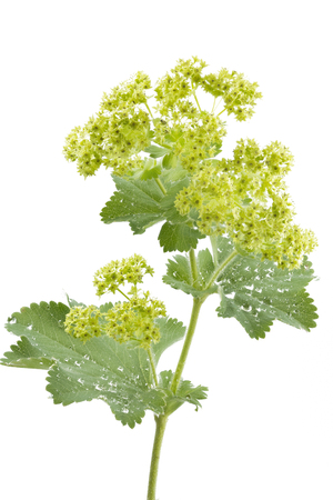 Alchemilla flowers isolated on white Imagens