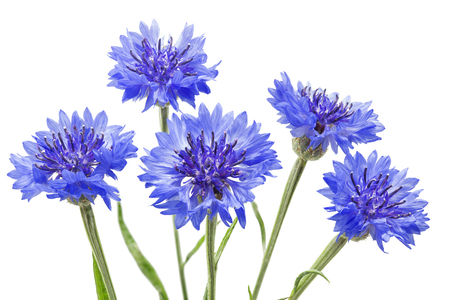 Blooming Cornflowers (Centaurea cyanus), isolated on white background Stock Photo