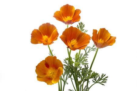 California poppy (Eschscholzia californica), isolated on white 版權商用圖片 - 81557754