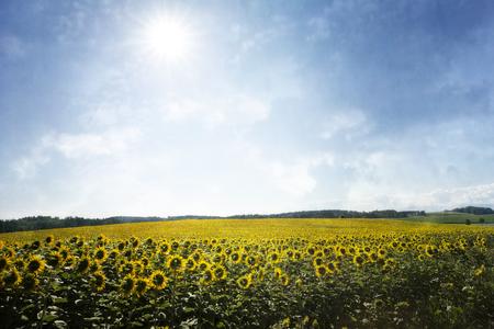 helianthus: Sunflower field with sun and texture overlay Stock Photo