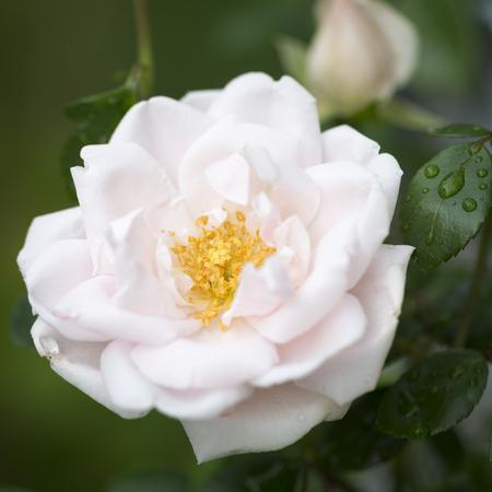 Pink climbing rose, closeup shot taken in the garden