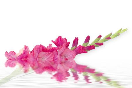 Single Gladiolus flower isolated on white background Stock Photo