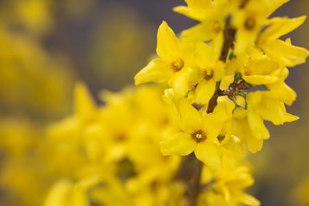 Blooming Forsythia format filling