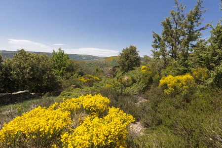 Blooming Genista plants in the Cevennes area in France, Europe Фото со стока