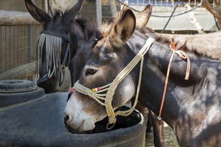 Donkey on a farm in Greece, Europe