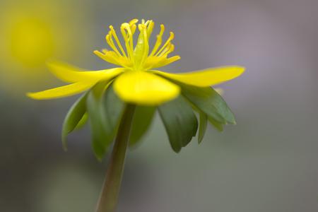 Single Eranthis hyemalis flower outside in the garden