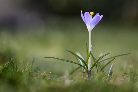 Single Crocus tommasinianus flower in a lawn, closeup