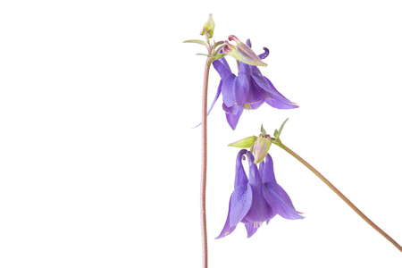 Two aquilegia vulgaris flowers isolated on white background