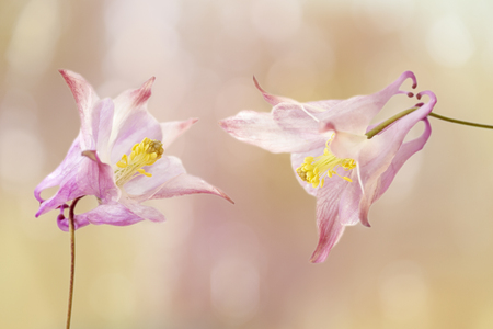 Two aquilegia vulgaris flowers with texture overlay