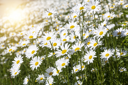 Meadow with blooming Marguerite flowers (Leucanthemum vulgare) and sun