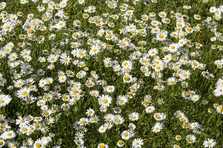 Meadow with blooming Marguerite flowers (Leucanthemum vulgare)