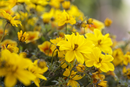 Bidens ferulifolia flowers in the garden