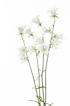 White Campanula flower on white background