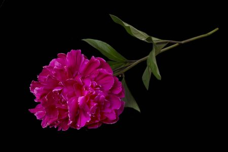Single red Peony flower on black background