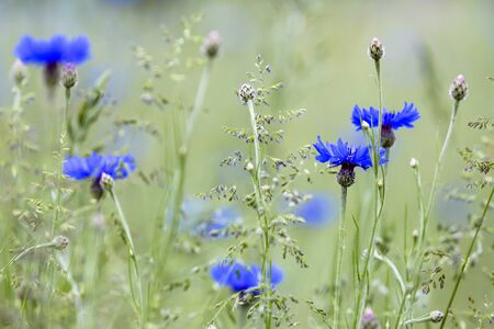 Blooming blue cornflower (Cyanus segetum) on a meadow
