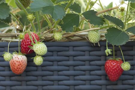 Ripe and unripe strawberries in a flower pot