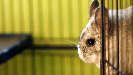 close up of a chinchilla standing in a cage close up of a chinchilla standing in a cage