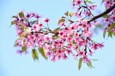 Cherry blossom, sakura flowers photo