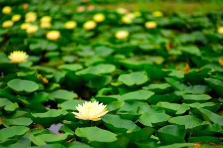 Water lily in the pond Reklamní fotografie