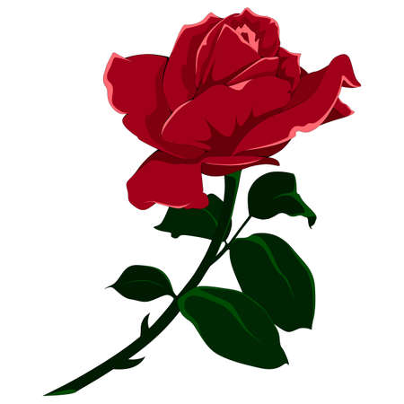 Vector image of a rose. Color image on white background.