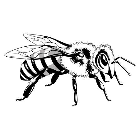 Black and white image of a bee on a white background.