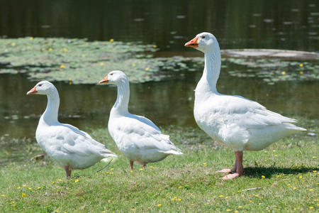 A flock of domestic geese walking in the meadow
