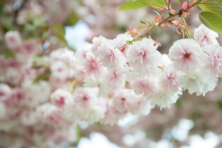 odorous: Japanese cherry blossoms Stock Photo