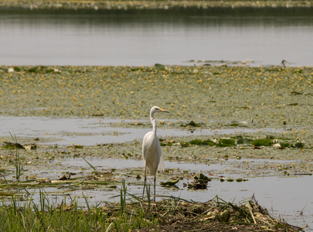 White heron searching for food in the pond Stock Photo