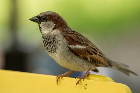 nib: House sparrow standing on a yellow wooden chair
