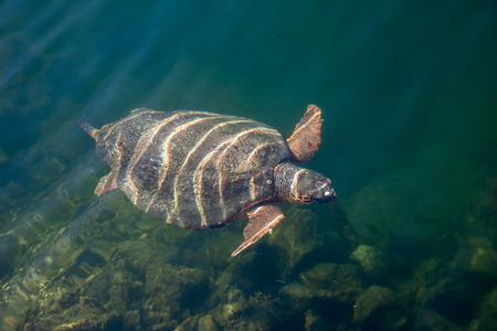 Sea turtle Caretta Caretta in The Bay of Argostoli on Greek island Kefalonia Stock Photo