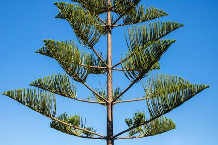 Araucaria heterophylla - Norfolk Island Pine Tree