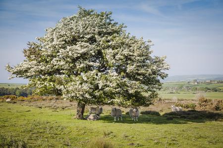 moors: Grazing sheep under blooming tree in North York Moors National Park