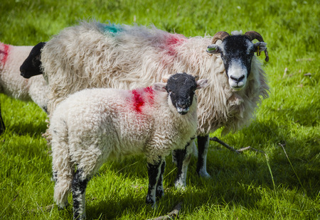 cumbria: Sheep with lamb in Lake District, Cumbria Stock Photo