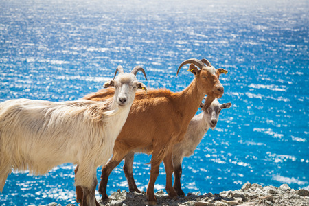 corsica: Wild living goats in Corsica