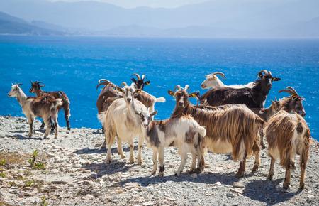 Wild lebende Ziegen in Korsika Standard-Bild - 40508698