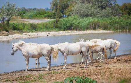 camargue: Horses Camargue Provence