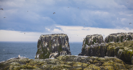 colonies: Bird colonies at the Farne Islands in Northumberland