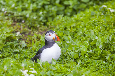 puffins: Puffins at the Farne Islands in Northumberland Stock Photo